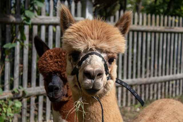 Alpaca Farm field trip
