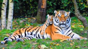Reclining tiger and cub